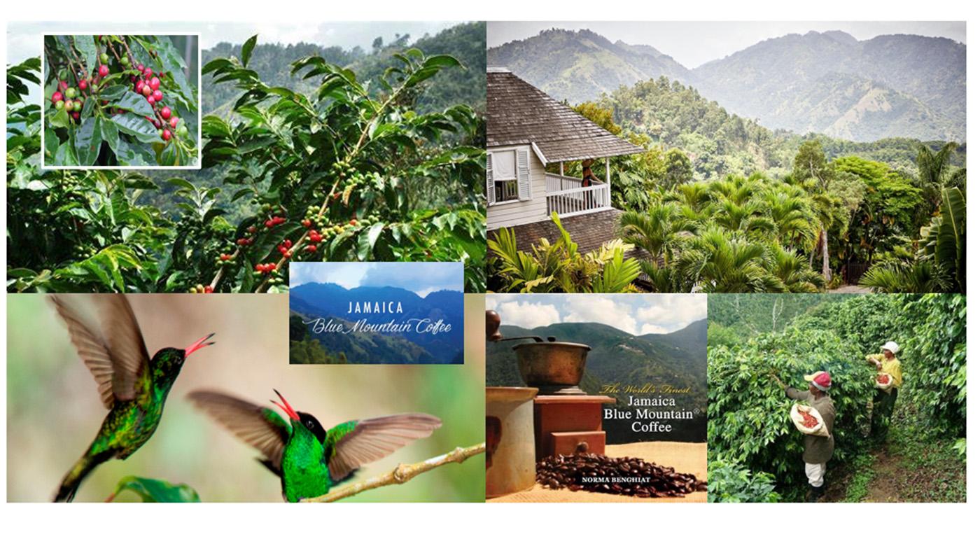 TOUR JAMAICA BLUE MOUNTAIN AND ITS FAMOUS COFFEE PLANTATION